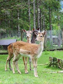 Hirsch, Wild, Roe Deer, Forest, Nature, Fallow Deer