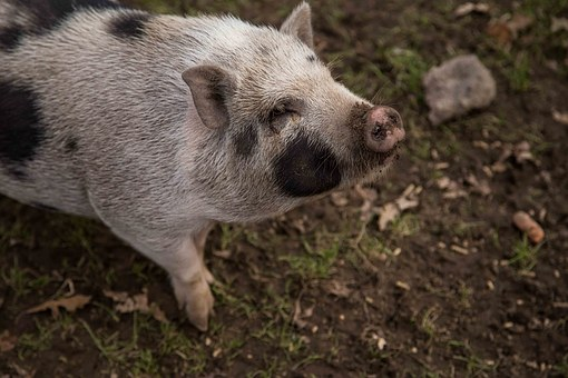 Pig, Animal, Wisconsin