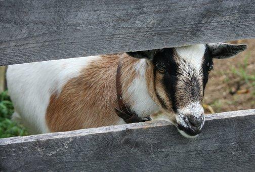 Goat, Boer Bok, Animal, Pet, Domestic, Mammal