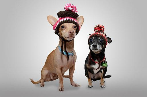 Dog, Chihuahua, Animal, Pet, Puppy, Funny Dog, Funny