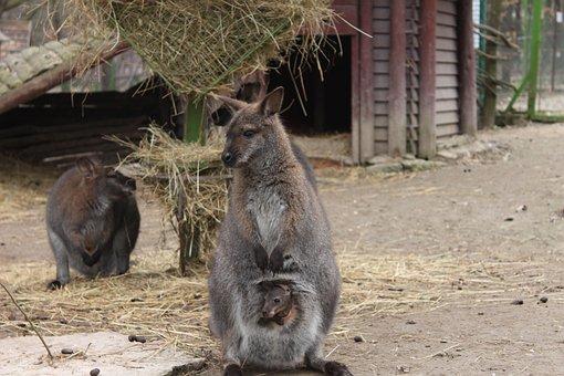 Kangaroo, Little, Baby, Purse, Group, Animal, Zoo