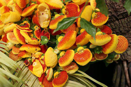 Flower, Botanic Garden, Yellow, Calceolaria