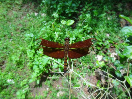 Dragonfly, Brown, Animal, Insect, Wing, Wildlife, Bug