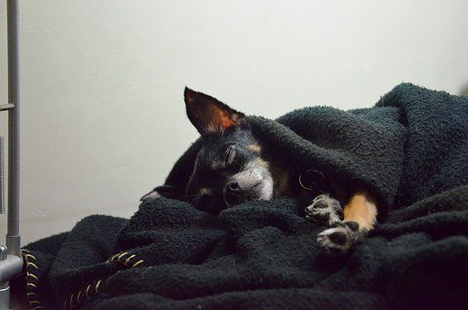 Dog, Chihuahua, Animal, Pet, Puppy, Cute, Dog Isolated