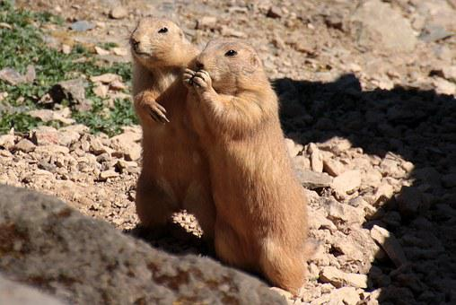 Black-tailed Prairie Dog, Cynomys Ludovicianus, For Two