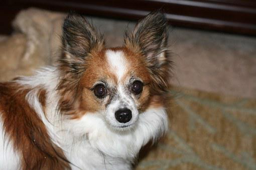 Papillon, Pet, Dog, Canine, Dog Breed, Big Ears