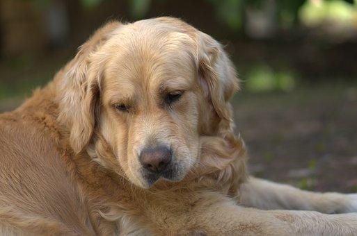 Golden Retriever, Dog, Pet, Golden Retriever Head
