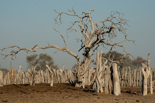 Tree, Old, Gnarled, Kraal, Viehpferch, Botswana