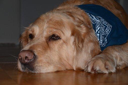 Dog, Golden Retriever, Pet, Hundeportrait