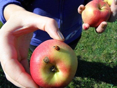 Apple, Green, Ladybug, Fruit, Insect, Wing, Wildlife