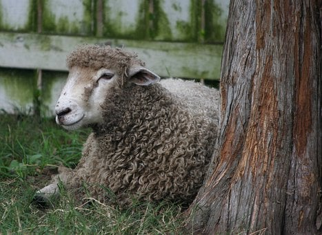 Sheep, Lamb, Wool, Livestock, Mammal, Farming, Domestic