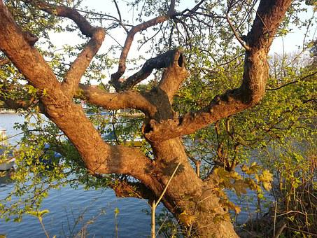 Tree, Gnarled, Tribe, Log, Nature, Crooked, Branches