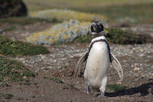 Penguin, South, Patagonia, Antarctic Penguin, Magellan