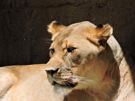 Lion, Female, Nature, Wildlife, Mammal, Leo, Lioness