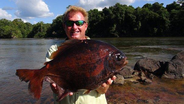 Fishing, Pacu, Guyanna, Fish, Hobby, Big Fish
