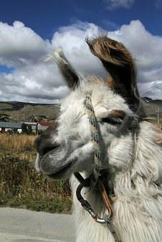 Chile, Chilean, Llama, Patagonia, South