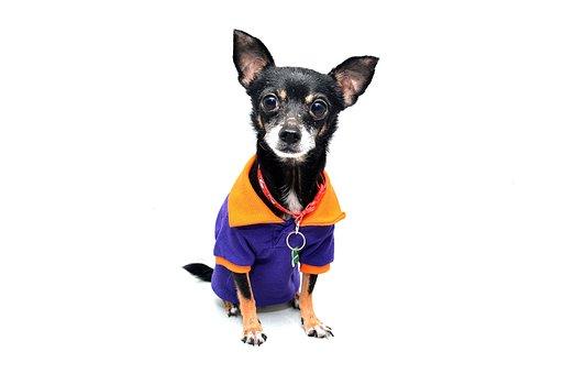 Dog, Chihuahua, Animal, Pet, Funny, Cute, Dog Isolated