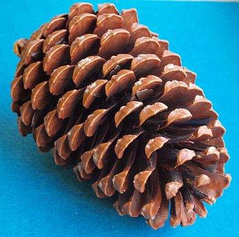 The Beach Pine Cones, Pinus Pinaster, Pinus Maritima