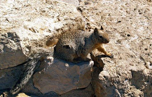 Gopher, Squirrel, Groundhog, Pretty, Animal, Nature