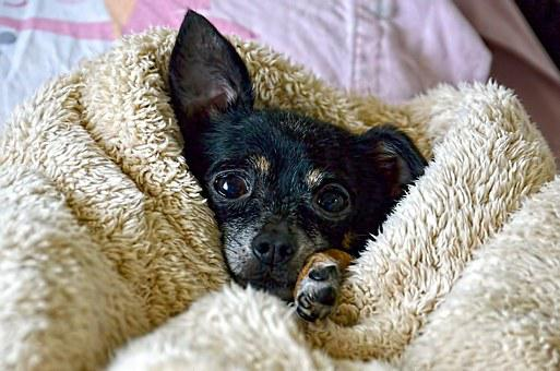 Dog, Chihuahua, Cute, Pet, Puppy, Funny, Funny Dog