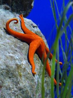 Starfish, Red, Aquarium, Red Starfish
