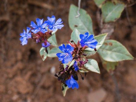 Wild Flowers, Ecology, Small Fresh, Blue Snowflakes