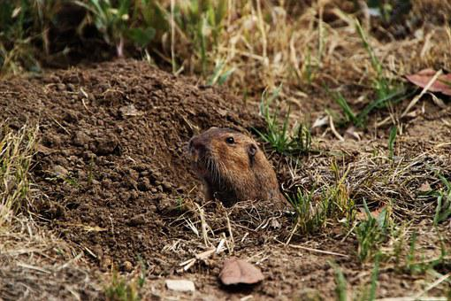 Gopher, Dirt, Rodent, Hole, Animal, Looking, Watching