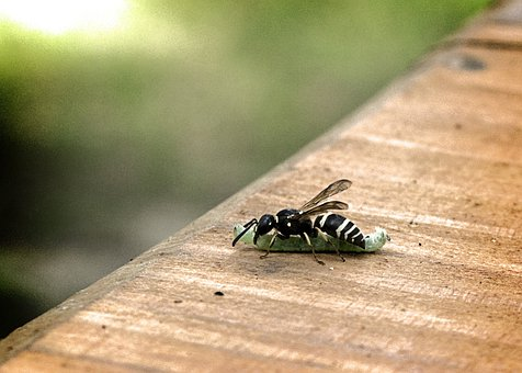 Wasp, Caterpillar, Eat, Fight, Insect, Wing, Wildlife