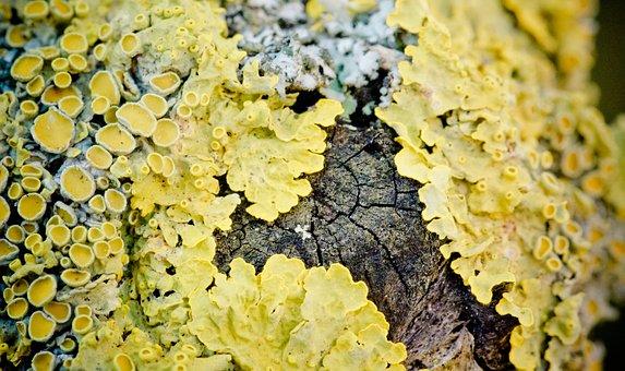 Wall Lichen, Crust Lichen, Lichen, Yellow, Macro