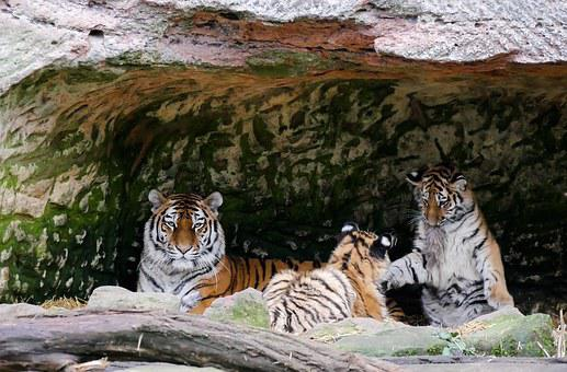 Animals, Tiger, Predator, Young Animal, Young Tiger