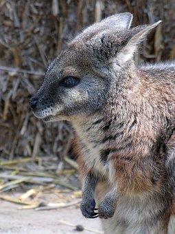 Wallaroos, Purse, Zoo, állatportré, Nature, Animal