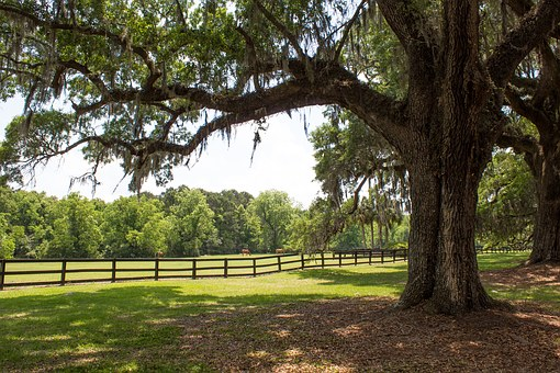 Ancient Oaks, Horses, Pasture, Spanish Moss, Moss