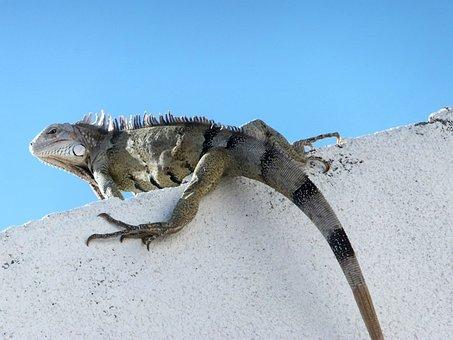 Chameleon, Falcon, Venezuela, Animals