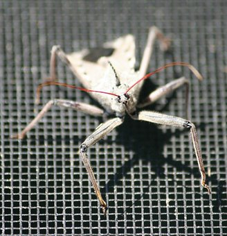 Bug, Assassin Insect, Wheel Bug, Arilus Cristatus