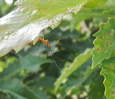 Assassin Bug Nymph, Bug, Nymph, Insect, Hunt, Hunting