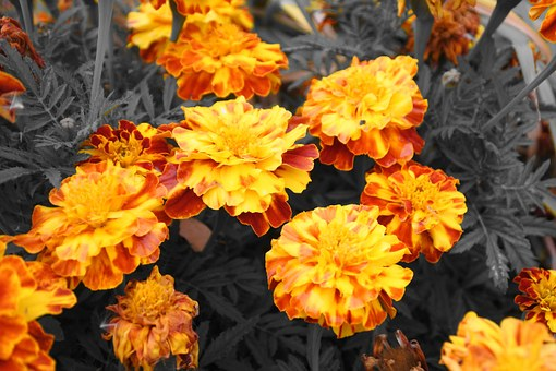 Flowers, Barhotki, Orange, Yellow, Garden Flower
