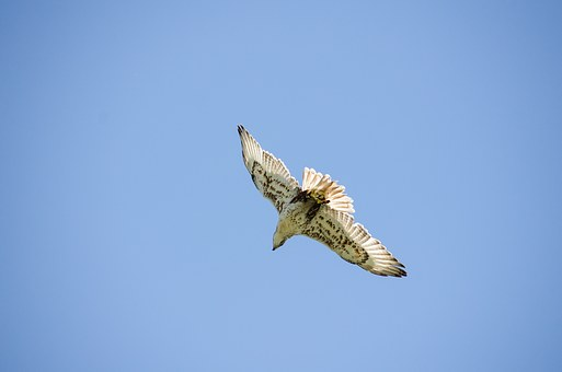 Saker Falcon, Falcon, Raptor, Bird, Freedom, Falconry