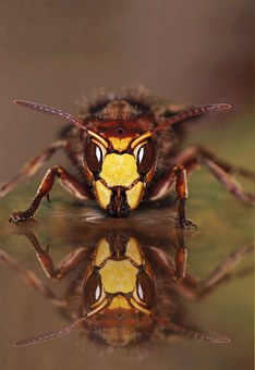Hornet, Macro, Insect, Useful, Hornets Queen, Close