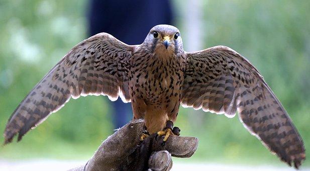 Falconry, Falcon, Birds Of Prey, Birds, Bird Of Prey