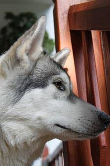 Wolf, Husky, Animal, Pet, Siberian, Pedigree, Friend