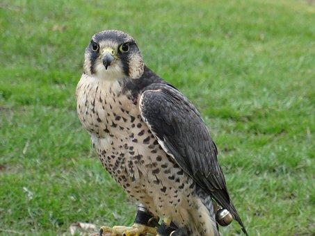 Falcon, Bird Of Prey, Bird, Helmsley