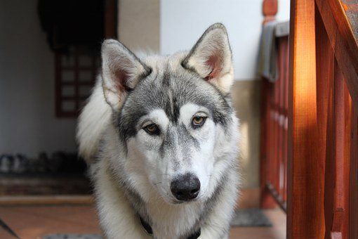 Dog, Husky, Animal, Siberian, Puppy, Wolf