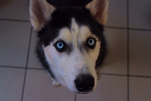 Husky, Siberian, Cute, Animal, Dog, Face, Looking