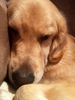 Sleepy, Dog, Lazy, Resting, Golden Retriever, Mammal