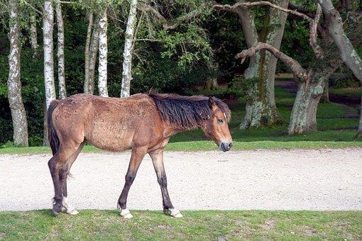 Horse, Pony, Wild, New Forest Pony, New Forest, Animal
