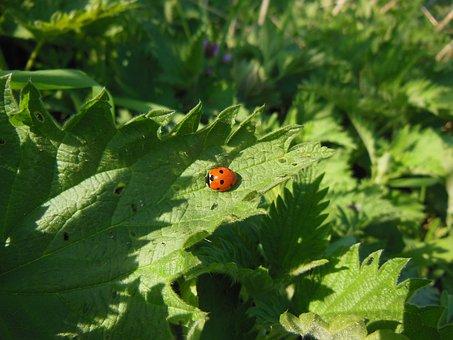 Nature, Nettle, Ladybug, Rest, Wintering, Plants