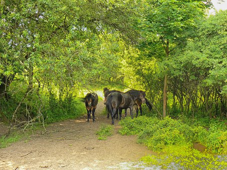 Horses, Forest, Trees, Germany, Landscape, Scenic