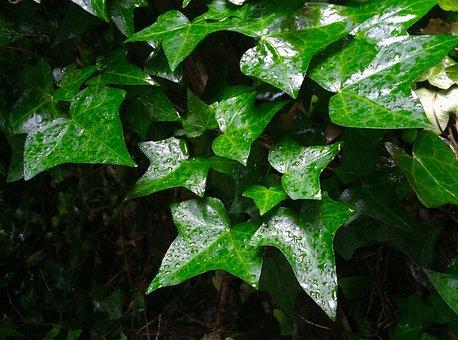 Ivy, Leaf, Rain, Drop, Shizuku, Drop Of Water, Green