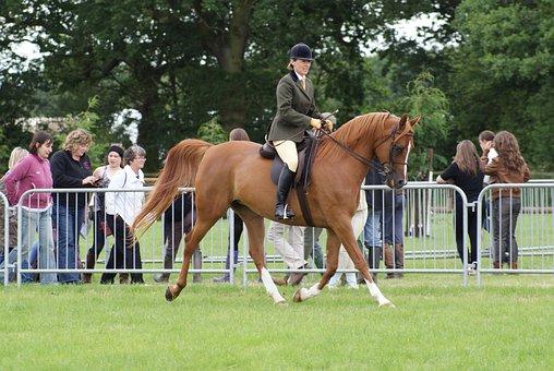 Horse, Riding, Showing, Ridden Arab, Chestnut Arab