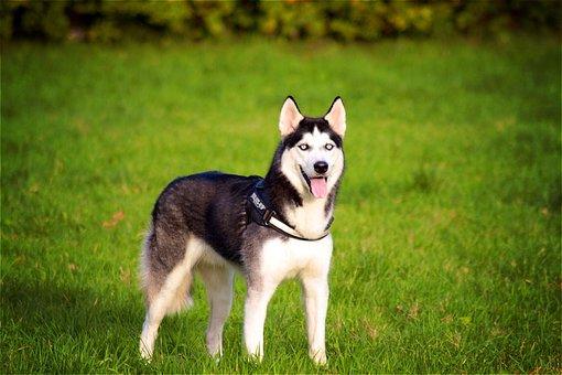 Husky, Siberian, Dog, Pet, Animal, Cute, Nature